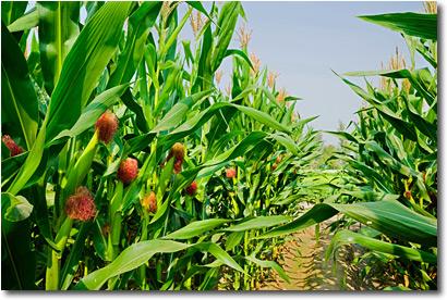 Syngenta Lawsuit | Lawsuits Over Viptera Corn